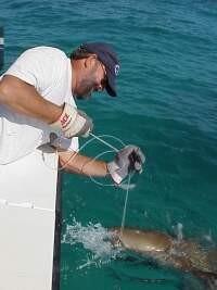 Capture of adult nurse shark