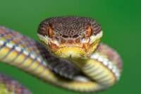 White-lipped Pit Viper Trimereresurus albolabris
