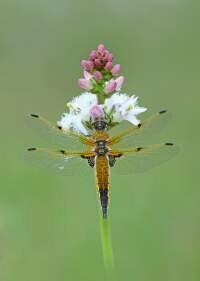 Four-spotted Chaser Libellula quadrimaculata (female)