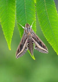 Silver-striped Hawkmoth Hippotion celerio