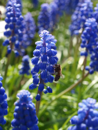 pollination of grape hyacinth by a bee