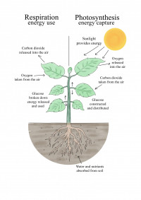 comparison of photosynthesis and respiration
