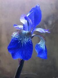 Iris (found)
